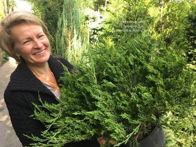 Ялівець козацький рокери Джем (Juniperus sabina Rockery Gem) ФОТО Розплідник рослин Природа Priro (227) da