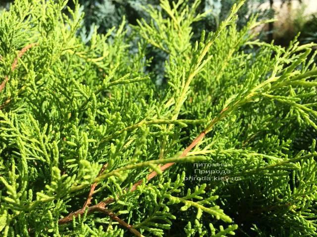 Ялівець середній Кінг оф Спрінг (Juniperus media King of Spring) ФОТО Розплідник рослин Природа Priroda (222)