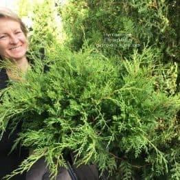 Можжевельник средний Кинг оф Спринг (Juniperus media King of Spring) ФОТО Питомник растений Природа Priroda (223)