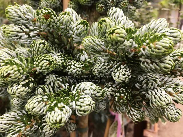 Пихта корейская Когоутс Айсбрейкер (Abies koreana Kohouts Isebreaker) ФОТО Питомник растений Природа Priroda (73)