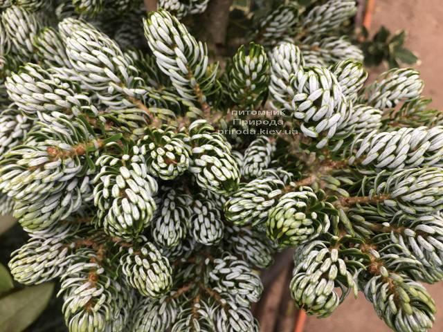 Пихта корейская Когоутс Айсбрейкер (Abies koreana Kohouts Isebreaker) ФОТО Питомник растений Природа Priroda (74)