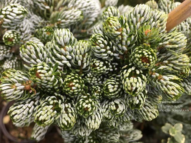 Пихта корейская Когоутс Айсбрейкер (Abies koreana Kohouts Isebreaker) ФОТО Питомник растений Природа Priroda (75)
