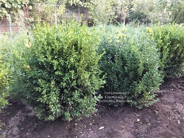 Самшит вічнозелений (Buxus sempervirens) ФОТО Розплідник рослин Природа Priroda (20)