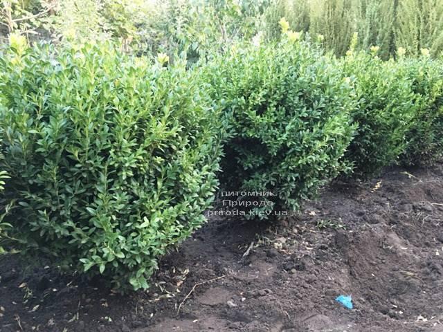 Самшит вічнозелений (Buxus sempervirens) ФОТО Розплідник рослин Природа Priroda (21)