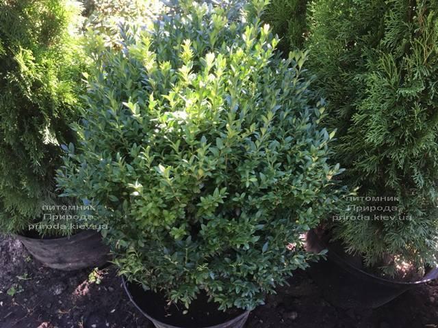 Самшит вічнозелений (Buxus sempervirens) ФОТО Розплідник рослин Природа Priroda (22)