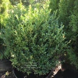 Самшит вечнозелёный (Buxus sempervirens) ФОТО Питомник растений Природа Priroda (23)