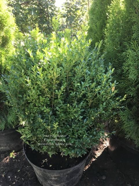 Самшит вічнозелений (Buxus sempervirens) ФОТО Розплідник рослин Природа Priroda (23)
