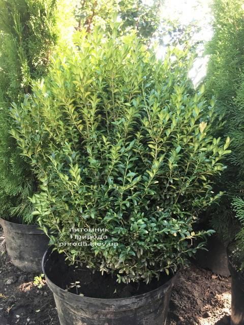 Самшит вічнозелений (Buxus sempervirens) ФОТО Розплідник рослин Природа Priroda (24)