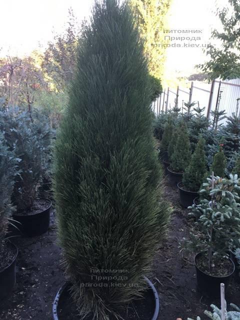 Сосна чёрная Грин Тауэр (Pinus nigra Green Tower) ФОТО Питомник растений Природа Priroda (109)