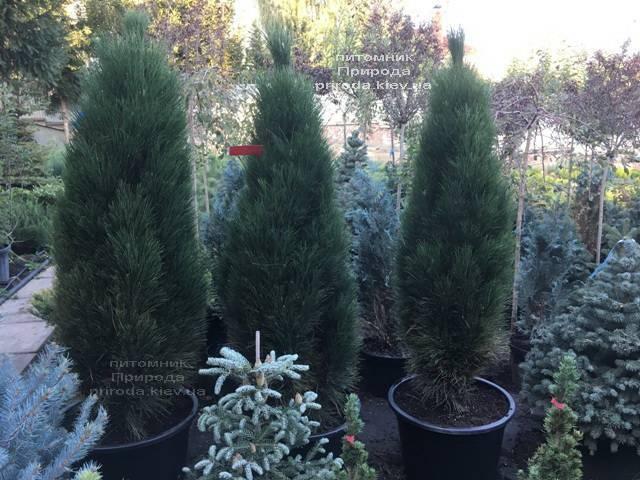 Сосна чёрная Грин Тауэр (Pinus nigra Green Tower) ФОТО Питомник растений Природа Priroda (111)