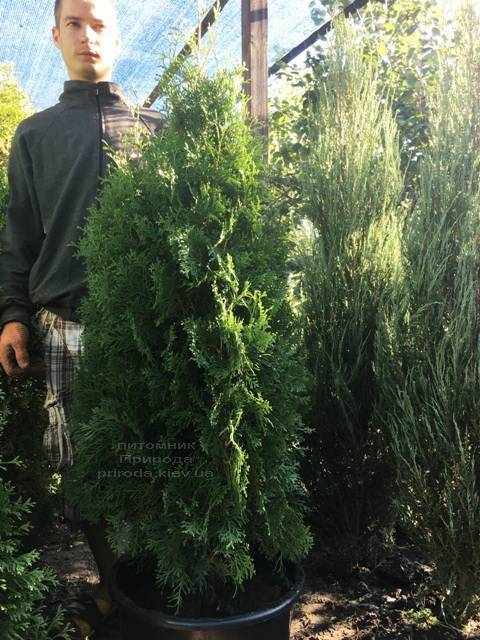 Туя західна колоновидна Колумна (Thuja occidentalis Columna) ФОТО Розплідник рослин Природа Priroda (83)