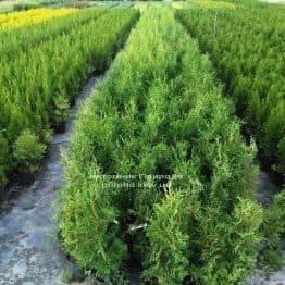 Туя західна колоновидна Колумна (Thuja occidentalis Columna) ФОТО Розплідник рослин Природа Priroda (71)
