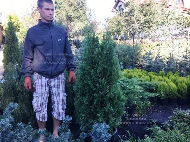 Туя западная колоновидная Колумна (Thuja occidentalis Columna) ФОТО Питомник растений Природа Priroda (89)