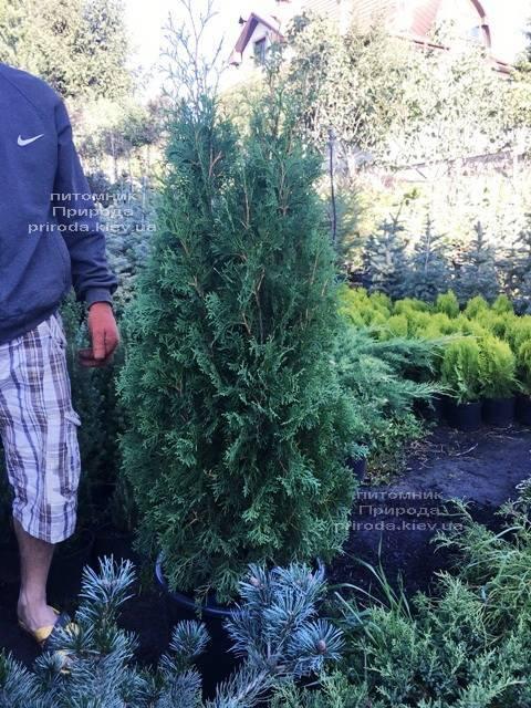 Туя західна колоновидна Колумна (Thuja occidentalis Columna) ФОТО Розплідник рослин Природа Priroda (91)