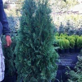 Туя западная колоновидная Колумна (Thuja occidentalis Columna) ФОТО Питомник растений Природа Priroda (92)