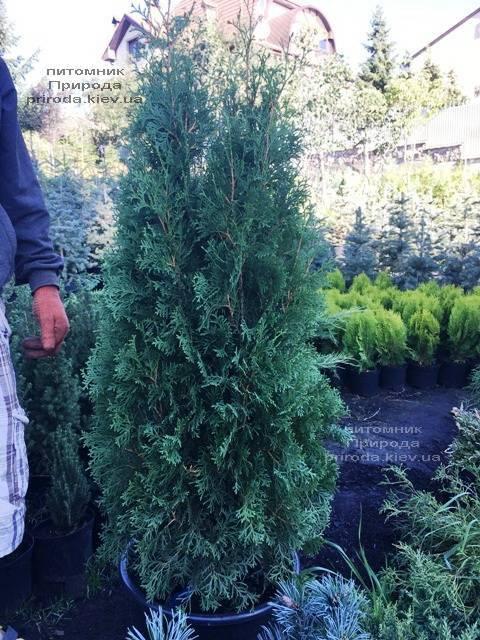 Туя західна колоновидна Колумна (Thuja occidentalis Columna) ФОТО Розплідник рослин Природа Priroda (92)