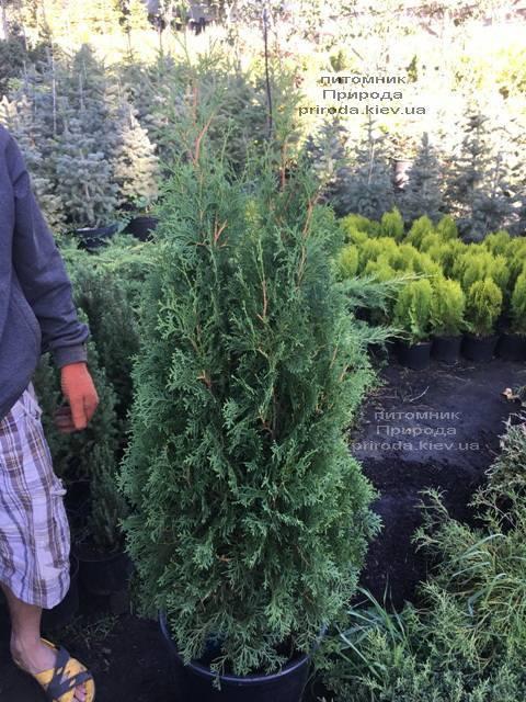 Туя західна колоновидна Колумна (Thuja occidentalis Columna) ФОТО Розплідник рослин Природа Priroda (93)