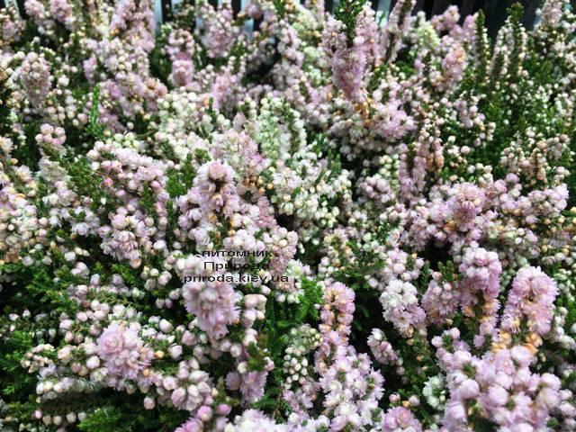 Вереск обыкновенный (Calluna vulgaris) ФОТО Питомник растений Природа Priroda (15)
