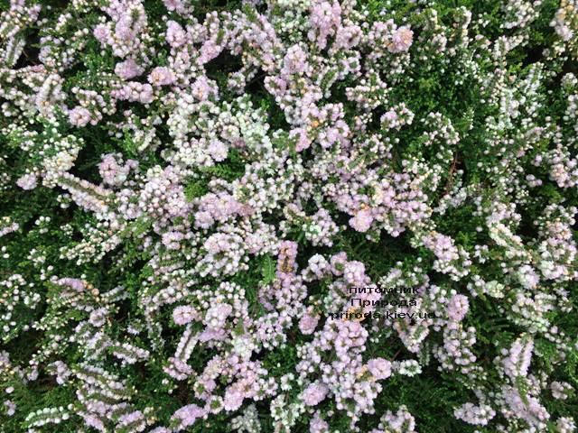 Вереск обыкновенный (Calluna vulgaris) ФОТО Питомник растений Природа Priroda (17)