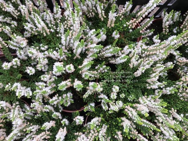 Вереск обыкновенный (Calluna vulgaris) ФОТО Питомник растений Природа Priroda (24)
