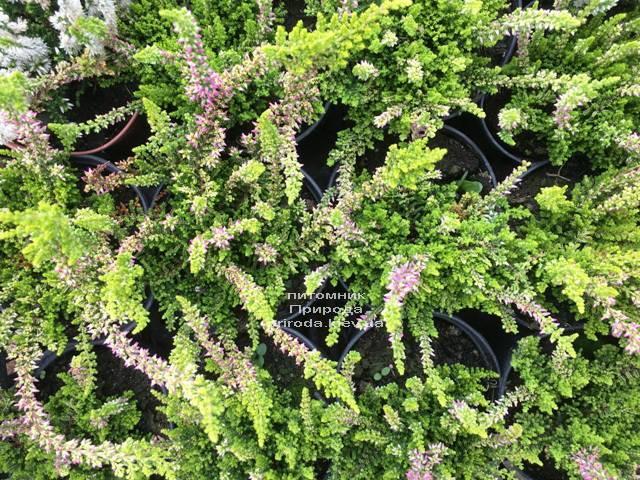 Вереск обыкновенный (Calluna vulgaris) ФОТО Питомник растений Природа Priroda (25)
