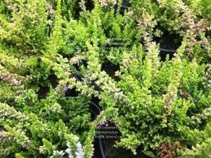 Вереск обыкновенный (Calluna vulgaris) ФОТО Питомник растений Природа Priroda (26)