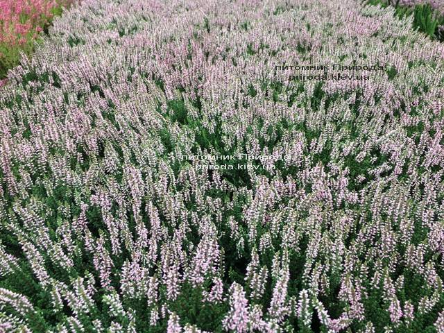 Вереск обыкновенный (Calluna vulgaris) ФОТО Питомник растений Природа Priroda (30)