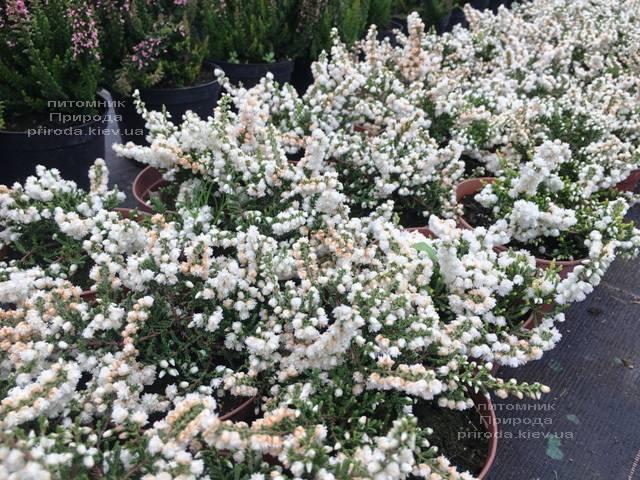 Вереск обыкновенный (Calluna vulgaris) ФОТО Питомник растений Природа Priroda (31)