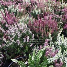 Верес звичайний (Calluna vulgaris) ФОТО Розплідник рослин Природа Priroda (34)