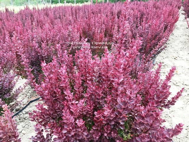 Барбарис Тунберга Рэд Рокет (Berberis thunbergii Red Rocket) ФОТО Питомник растений Природа Priroda (114)