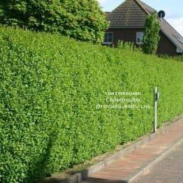 Бирючина звичайна Атровіренс (Ligustrum vulgare Atrovirens) ФОТО Розплідник рослин Природа Priroda (8)