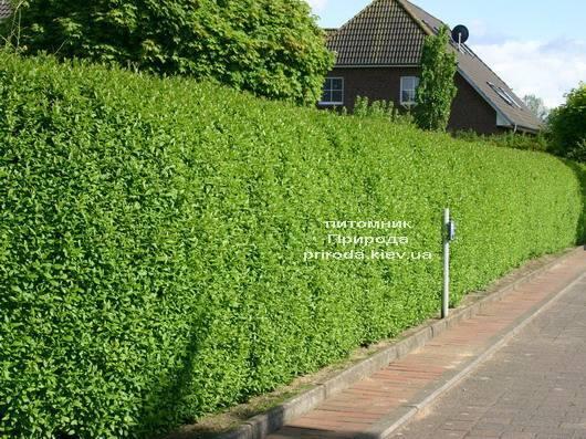 Бирючина обыкновенная Атровиренс (Ligustrum vulgare Atrovirens) ФОТО Питомник растений Природа Priroda (8)