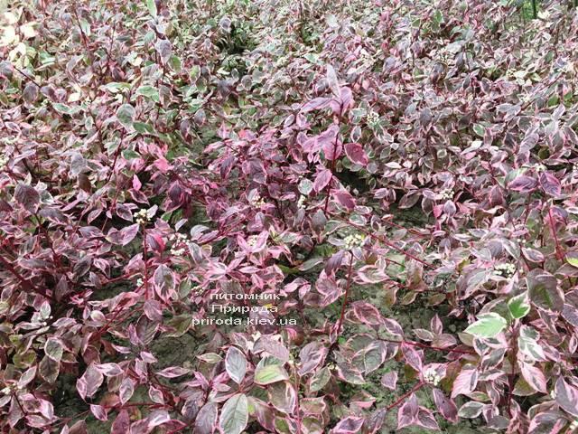 Дерен белый Сибирика Вариегата (Cornus alba Sibirica variegata) ФОТО Питомник растений Природа Priroda (23)
