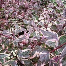 Дерен білий Сібіріка Варієгата (Cornus alba Sibirica variegata) ФОТО Розплідник рослин Природа Priroda (25)