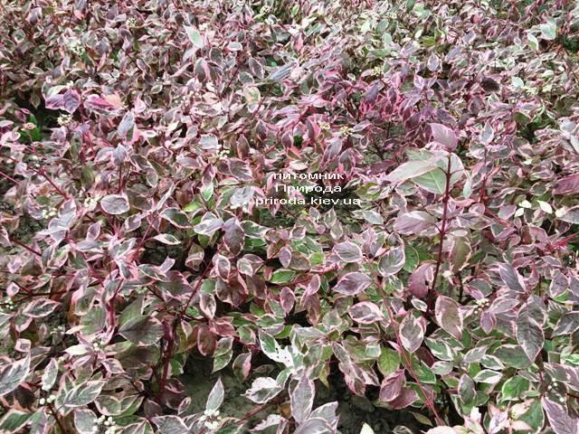 Дерен белый Сибирика Вариегата (Cornus alba Sibirica variegata) ФОТО Питомник растений Природа Priroda (26)