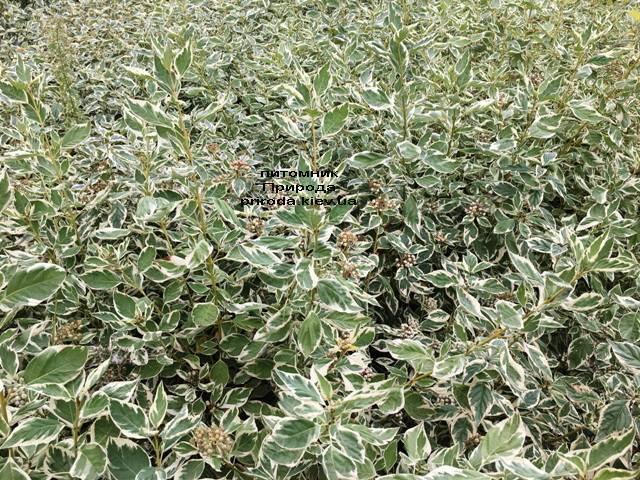 Дерен отприсковий Вайт Голд (Cornus stolonifera White Gold) ФОТО Розплідник рослин Природа Priroda (15)