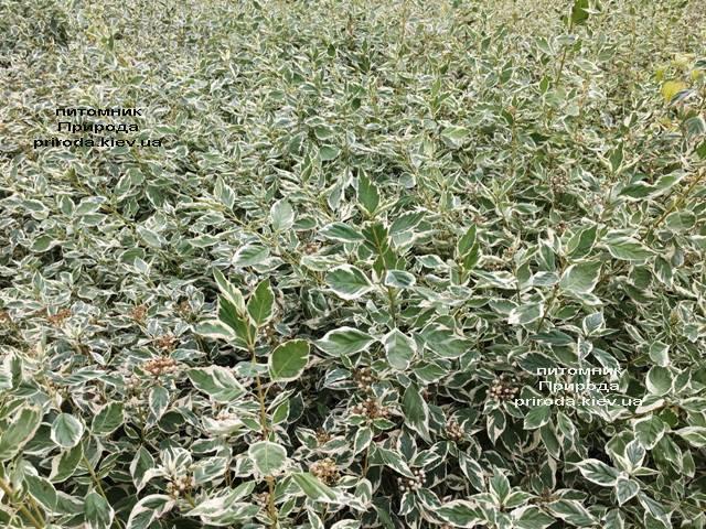 Дерен отприсковий Вайт Голд (Cornus stolonifera White Gold) ФОТО Розплідник рослин Природа Priroda (17)