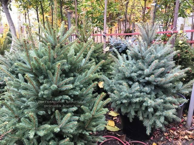 Ель голубая Глаука (Picea pungens Glauca) ФОТО Питомник растений Природа Priroda (260)