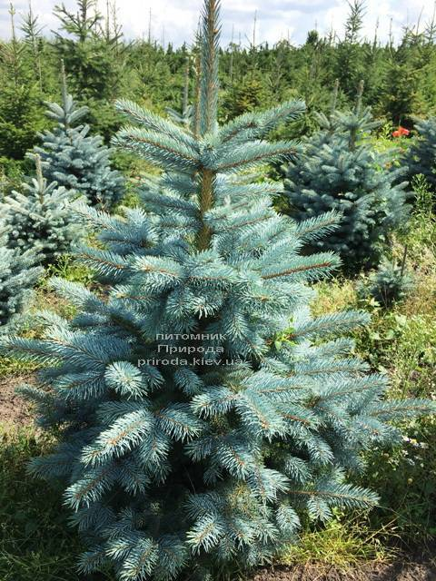 Ялина блакитна Супер Блю Сідлінгс (Picea pungens Super Blue Seedlings) ФОТО Розплідник рослин Природа Priroda (243)