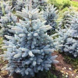 Ялина блакитна Супер Блю Сідлінгс (Picea pungens Super Blue Seedlings) ФОТО Розплідник рослин Природа Priroda (244)