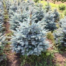 Ялина блакитна Супер Блю Сідлінгс (Picea pungens Super Blue Seedlings) ФОТО Розплідник рослин Природа Priroda (245)