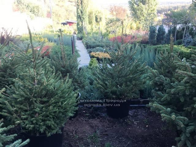 Ель обыкновенная/европейская (Pisea abies) ФОТО Питомник растений Природа Priroda (257)