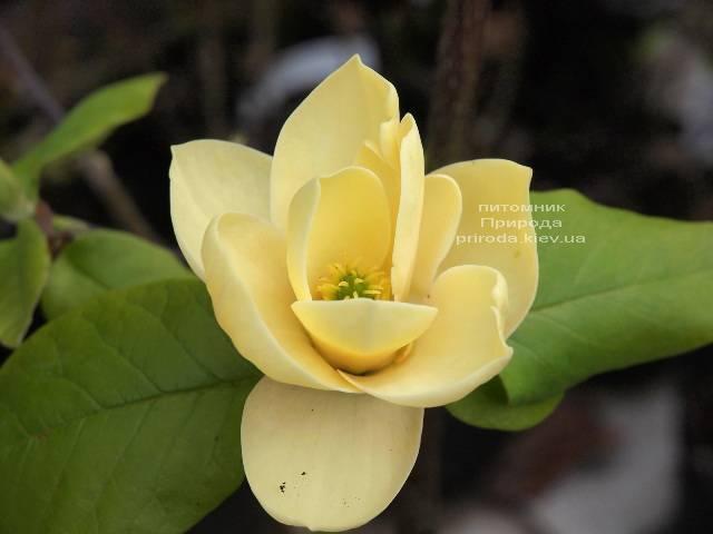 Магнолия Хоней Тюлип (Honey Tulip) ФОТО Питомник растений Природа Priroda (115)