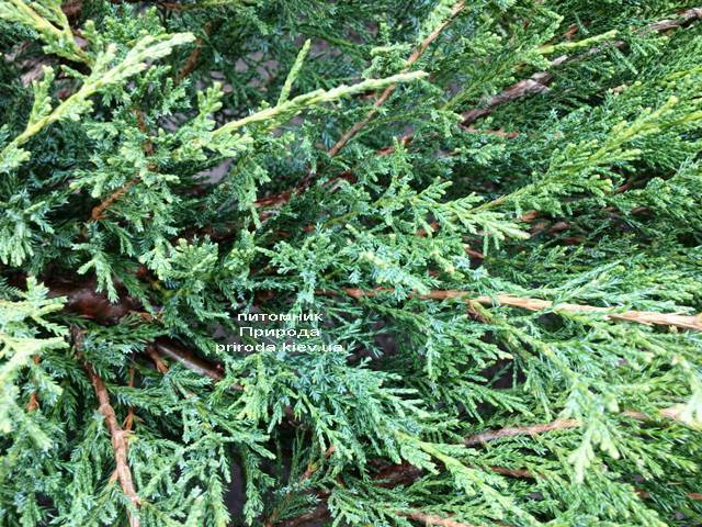 Можжевельник казацкий Блю Данау / Блю Дануб (Juniperus sabina Blaue Donau / Blue Danube) ФОТО Питомник растений Природа Priroda (253)