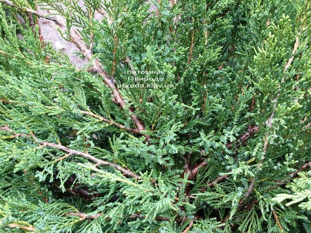 Можжевельник казацкий Блю Данау / Блю Дануб (Juniperus sabina Blaue Donau / Blue Danube) ФОТО Питомник растений Природа Priroda (251)