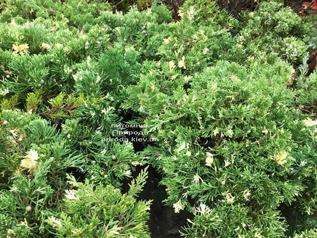 Ялівець китайський експансії Варієгата (Juniperus chnensis Expansa Variegata) ФОТО Розплідник рослин Природа Priroda (260)