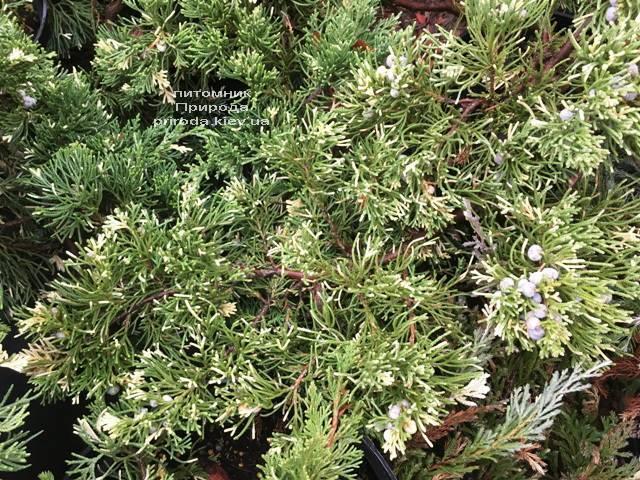 Ялівець китайський експансії Варієгата (Juniperus chnensis Expansa Variegata) ФОТО Розплідник рослин Природа Priroda (261)