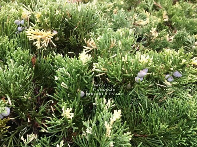 Ялівець китайський експансії Варієгата (Juniperus chnensis Expansa Variegata) ФОТО Розплідник рослин Природа Priroda (262)