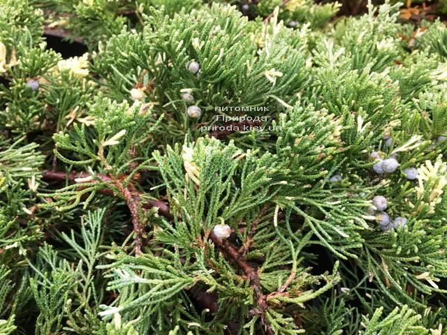 Ялівець китайський експансії Варієгата (Juniperus chnensis Expansa Variegata) ФОТО Розплідник рослин Природа Priroda (263)