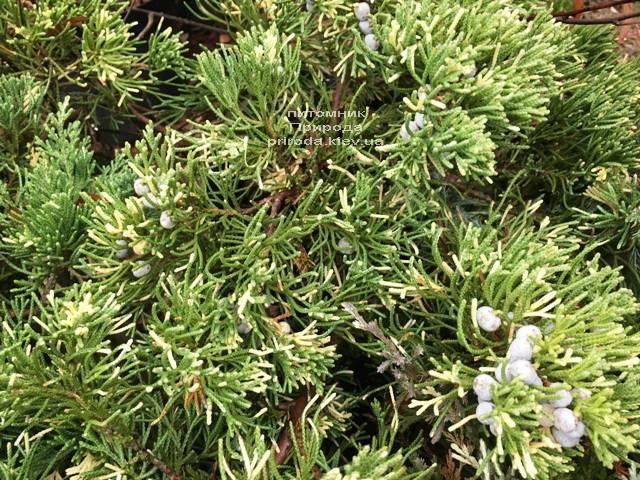 Ялівець китайський експансії Варієгата (Juniperus chnensis Expansa Variegata) ФОТО Розплідник рослин Природа Priroda (264)
